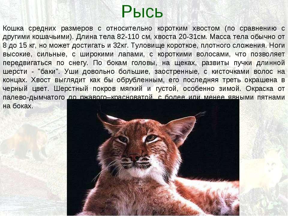 Рысь Кошка средних размеров с относительно коротким хвостом (по сравнению с д...