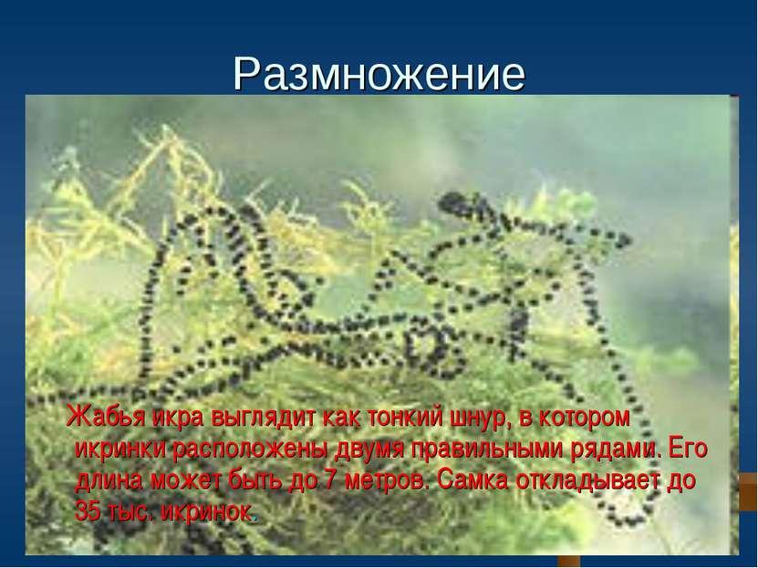 Размножение Жабья икра выглядит как тонкий шнур, в котором икринки расположен...