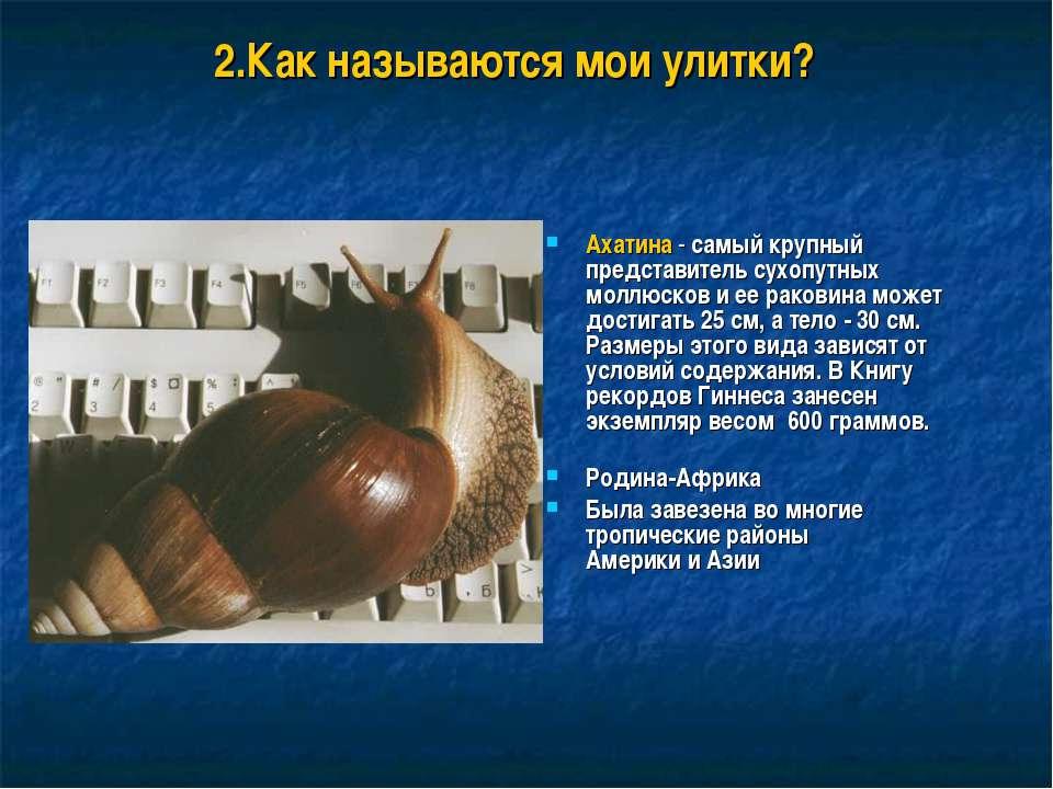 2.Как называются мои улитки? Ахатина - самый крупный представитель сухопутных...