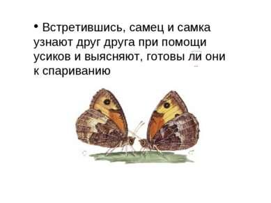 Встретившись, самец и самка узнают друг друга при помощи усиков ивыясняют, г...