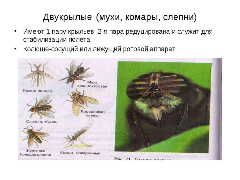 Двукрылые (мухи, комары, слепни) Имеют 1 пару крыльев, 2-я пара редуцирована ...