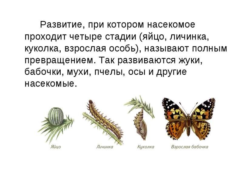 Развитие, при котором насекомое проходит четыре стадии (яйцо, личинка, куколк...
