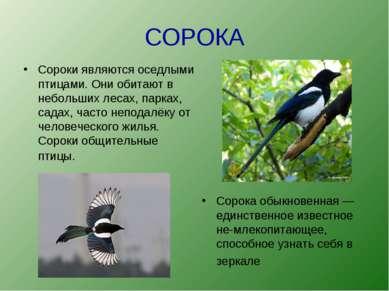 СОРОКА Сороки являются оседлыми птицами. Они обитают в небольших лесах, парка...