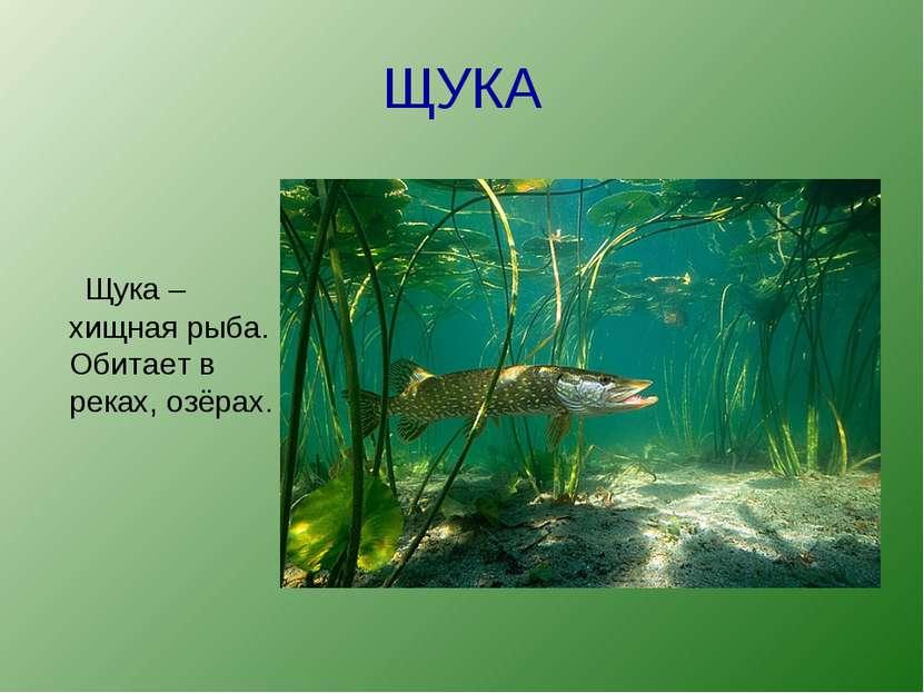 ЩУКА Щука –хищная рыба. Обитает в реках, озёрах.
