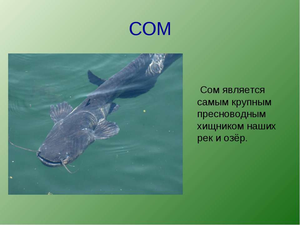 СОМ Сом является самым крупным пресноводным хищником наших рек и озёр.