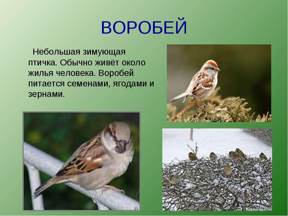 ВОРОБЕЙ Небольшая зимующая птичка. Обычно живёт около жилья человека. Воробей...