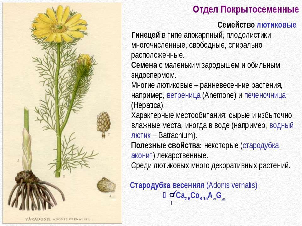 Отдел Покрытосеменные Семейство лютиковые Гинецей в типе апокарпный, плодолис...
