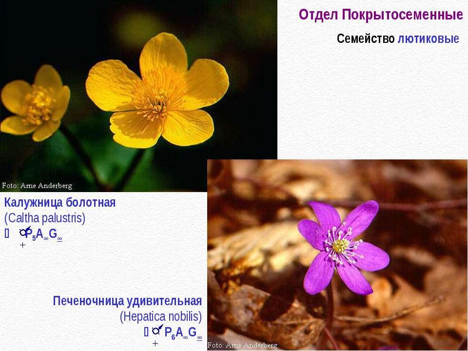 Отдел Покрытосеменные Семейство лютиковые Калужница болотная (Caltha palustri...