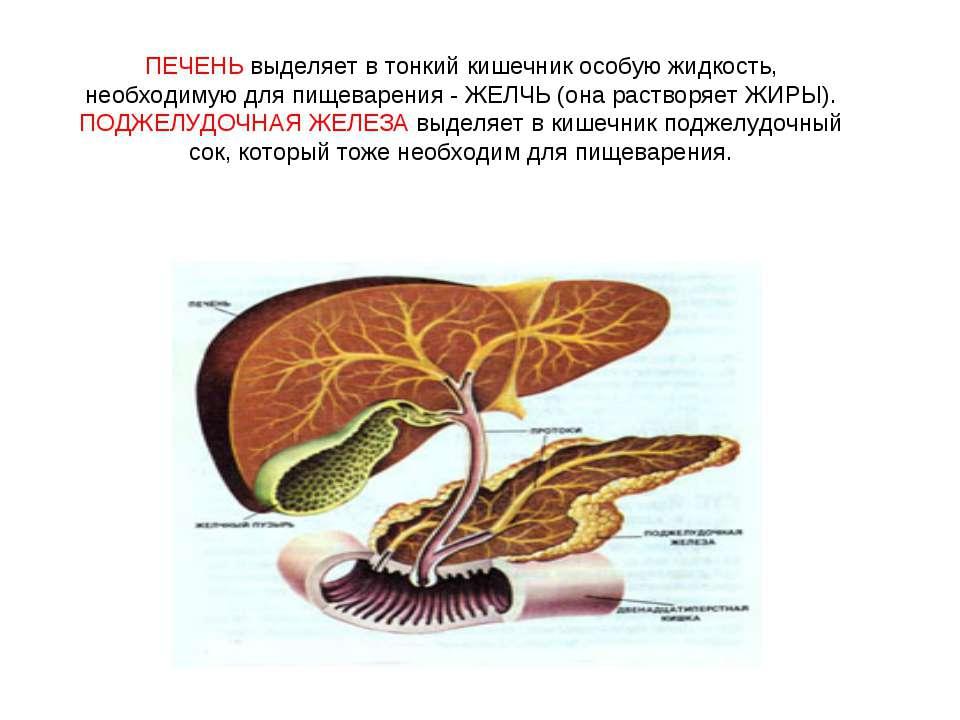 ПЕЧЕНЬ выделяет в тонкий кишечник особую жидкость, необходимую для пищеварени...