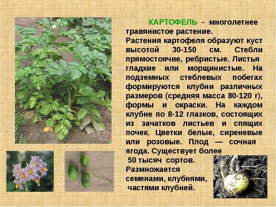 КАРТОФЕЛЬ - многолетнее травянистое растение. Растения картофеля образуют кус...