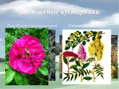 Листвееные кустарники Роза Ругоза (морщанистая) Рябиник рябенистый