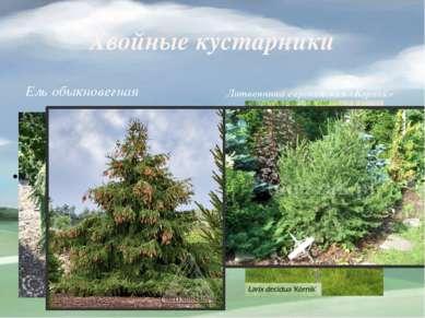 Хвойные кустарники Ель обыкновегная Литвенница европейская «Корник»