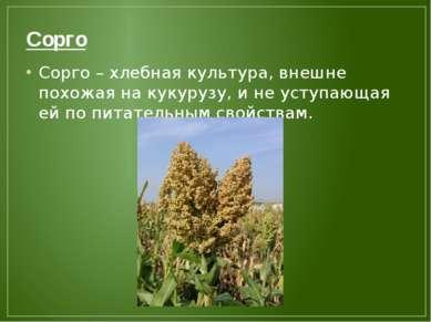 Сорго Сорго – хлебная культура, внешне похожая на кукурузу, и не уступающая е...