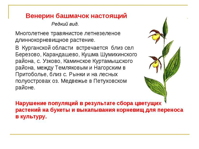 Венерин башмачок настоящий Многолетнее травянистое летнезеленое длиннокорневи...