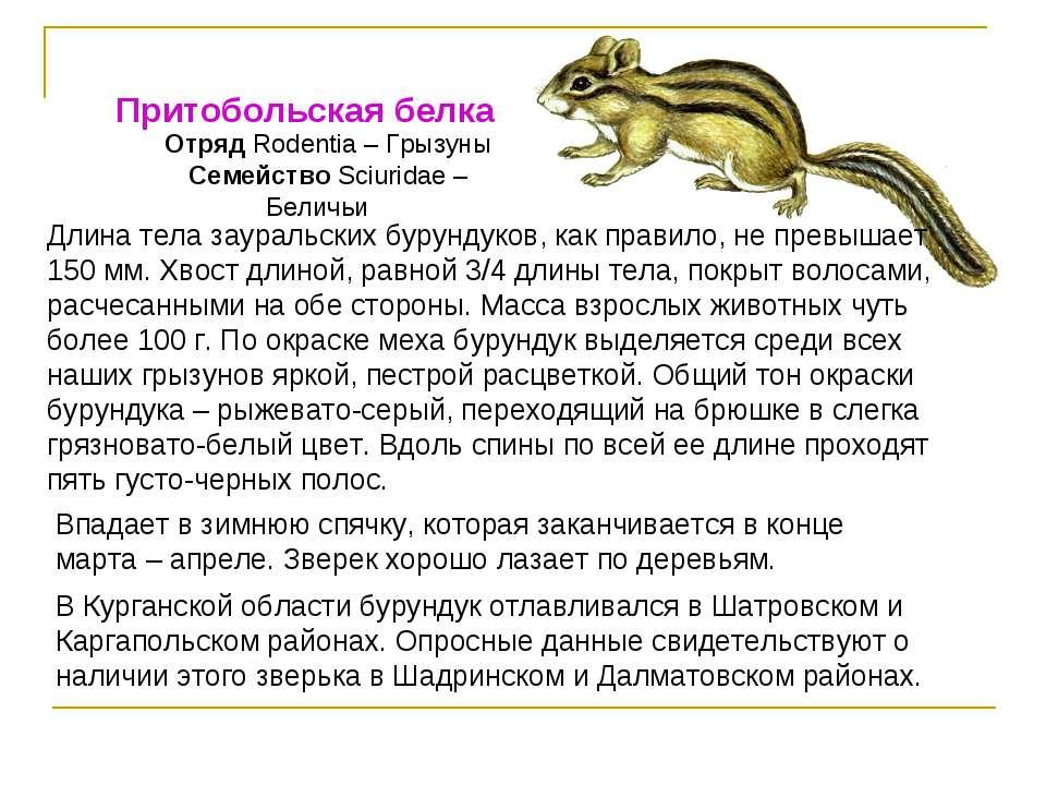 Притобольская белка Отряд Rodentia – Грызуны Семейство Sciuridae – Беличьи Дл...