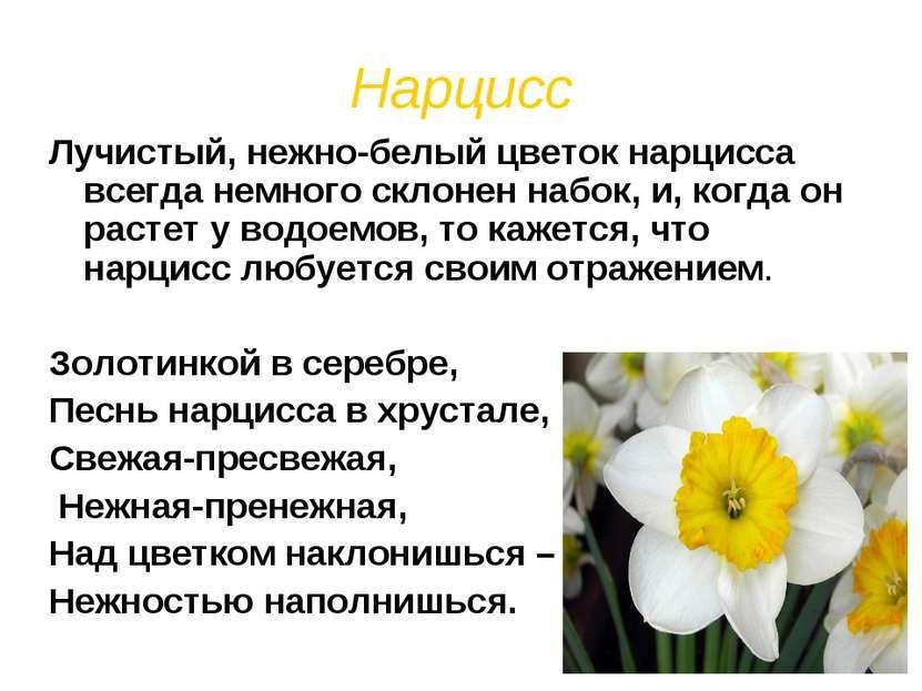 Нарцисс Лучистый, нежно-белый цветок нарцисса всегда немного склонен набок, и...