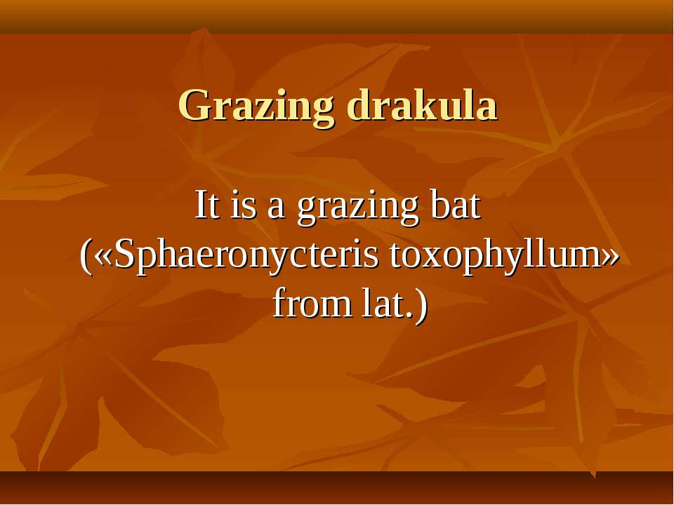 Grazing drakula It is a grazing bat («Sphaeronycteris toxophyllum» from lat.)