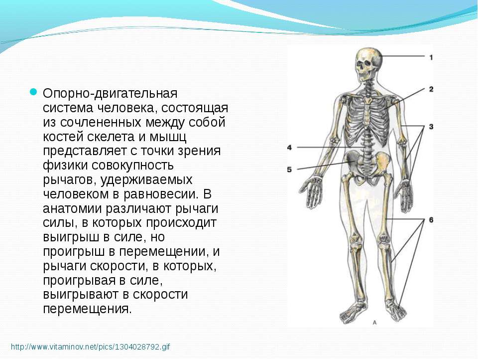 http://www.vitaminov.net/pics/1304028792.gif Опорно-двигательная система чело...
