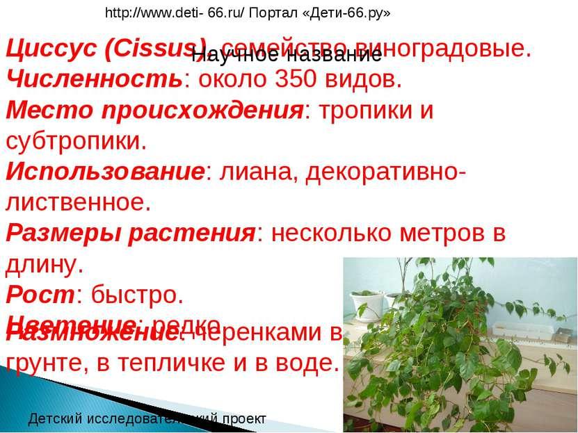 Циссус (Cissus), семейство виноградовые. Численность: около 350 видов. Место ...