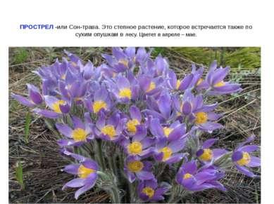 ПРОСТРЕЛ -или Сон-трава. Это степное растение, которое встречается также по с...