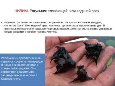 ЧИЛИМ- Рогульник плавающий, или водяной орех Название: растение не зря назван...
