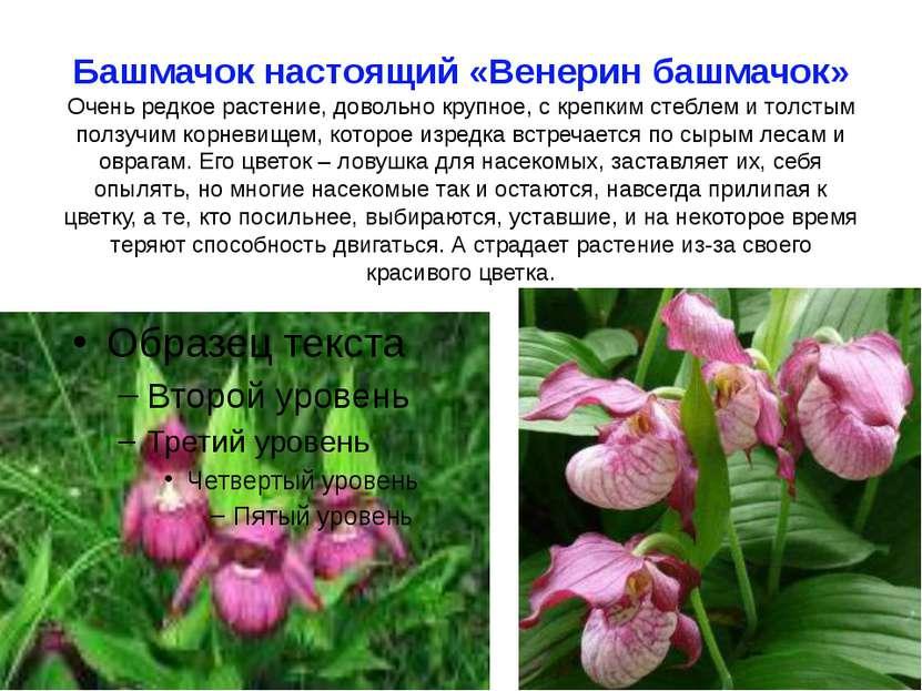 Башмачок настоящий «Венерин башмачок» Очень редкое растение, довольно крупное...