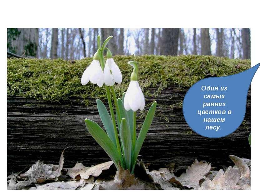 ПОДСНЕЖНИК-ВЕТРЕНИЦА. Один из самых ранних цветков в нашем лесу.