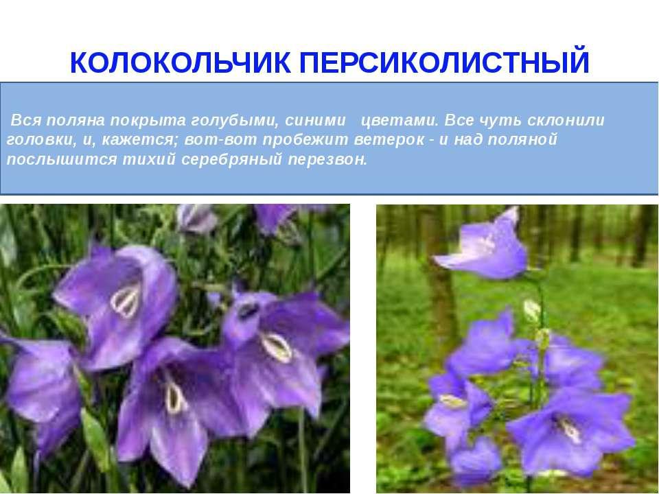 КОЛОКОЛЬЧИК ПЕРСИКОЛИСТНЫЙ Вся поляна покрыта голубыми, синими цветами. Все ч...