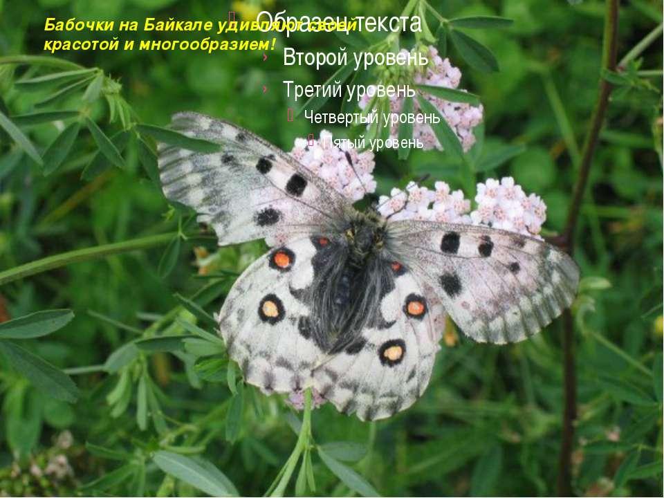 Бабочки на Байкале удивляют своей красотой и многообразием!