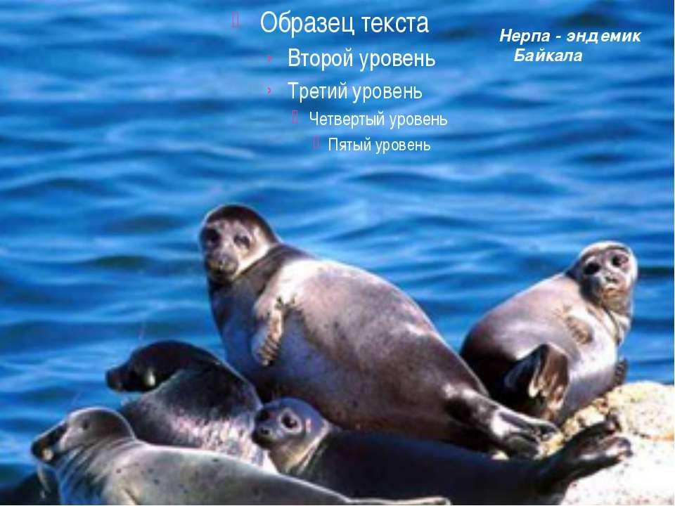 Нерпа - эндемик Байкала