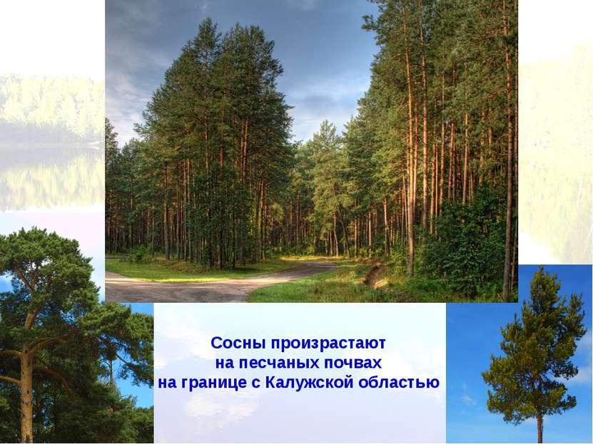 Сосны произрастают на песчаных почвах на границе с Калужской областью
