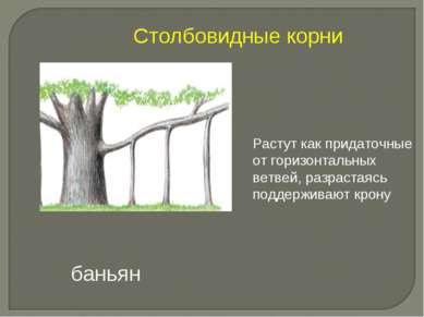 Растут как придаточные от горизонтальных ветвей, разрастаясь поддерживают кро...