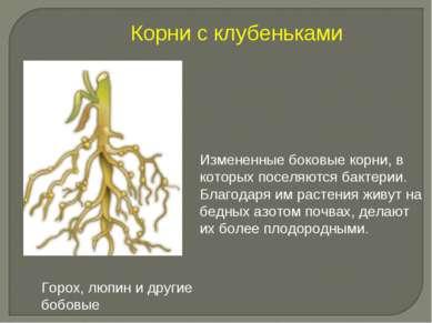 Измененные боковые корни, в которых поселяются бактерии. Благодаря им растени...