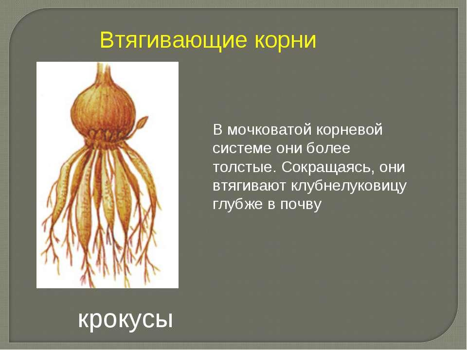 В мочковатой корневой системе они более толстые. Сокращаясь, они втягивают кл...