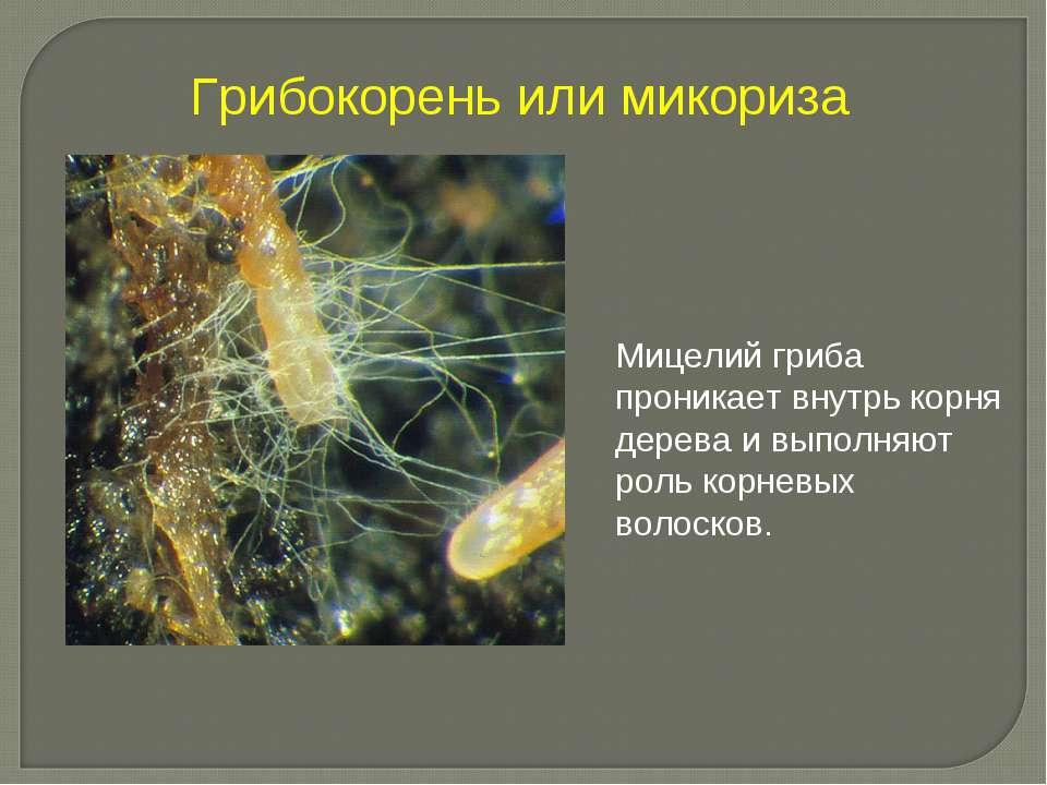 Грибокорень или микориза Мицелий гриба проникает внутрь корня дерева и выполн...