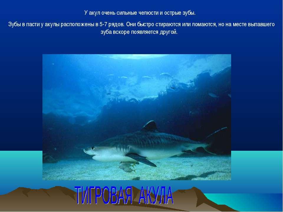 У акул очень сильные челюсти и острые зубы. Зубы в пасти у акулы расположены ...