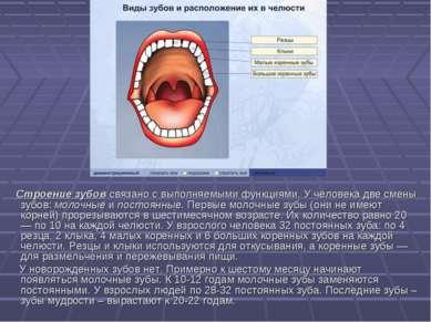 Строение зубов связано с выполняемыми функциями. У человека две смены зубов: ...