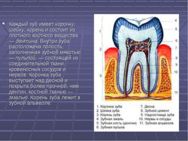 Каждый зуб имеет коронку, шейку, корень и состоит из плотного костного вещест...