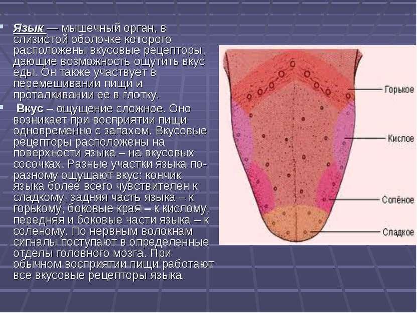 Язык — мышечный орган, в слизистой оболочке которого расположены вкусовые рец...