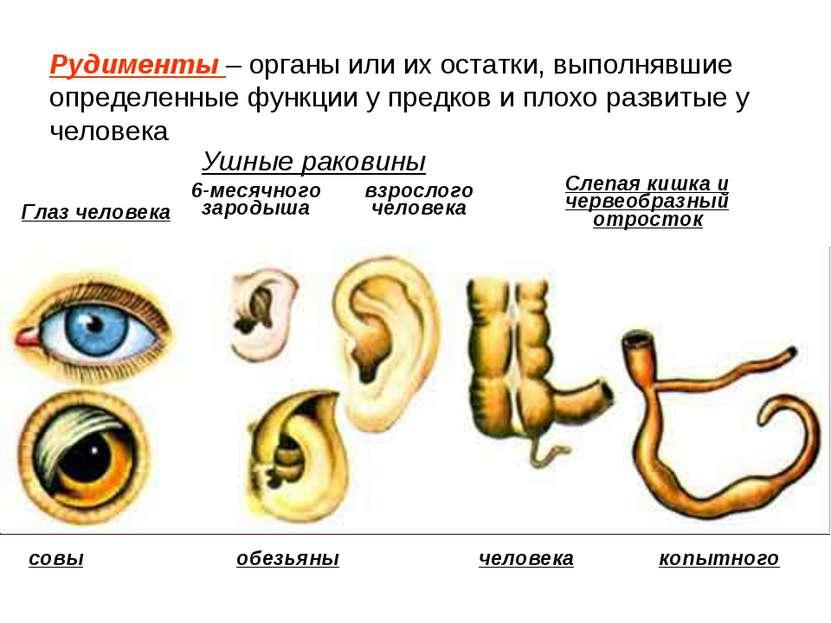 Ушные раковины 6-месячного зародыша взрослого человека Слепая кишка и червеоб...