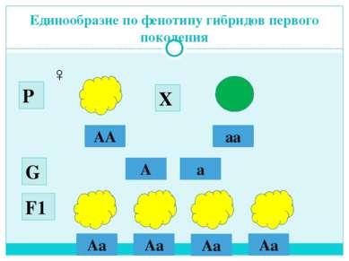 Единообразие по фенотипу гибридов первого поколения АА аа ♂ ♀ А а G Р Х F1 Аa...