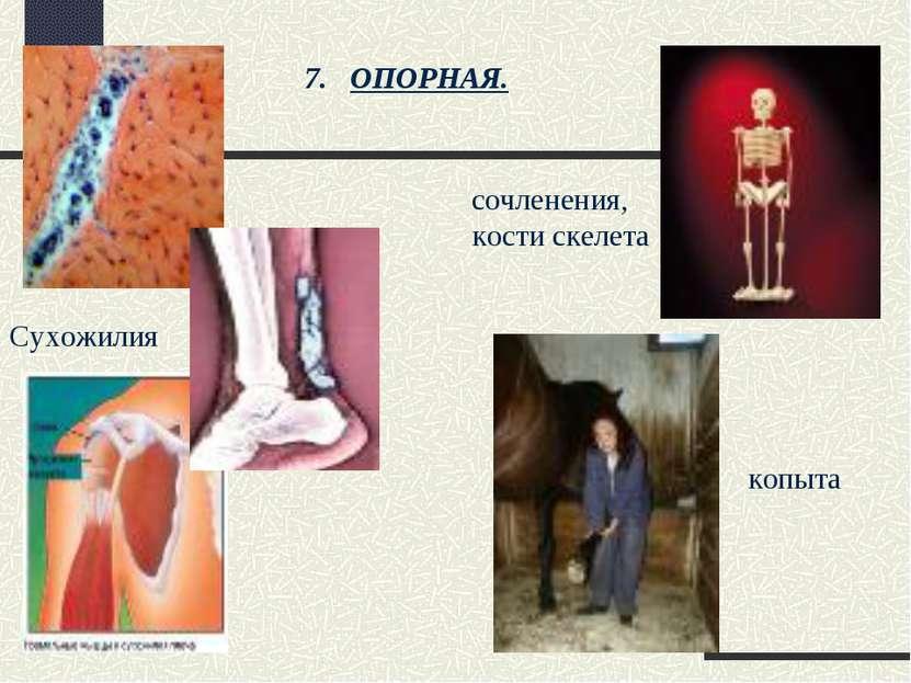 ОПОРНАЯ. Сухожилия сочленения, кости скелета копыта