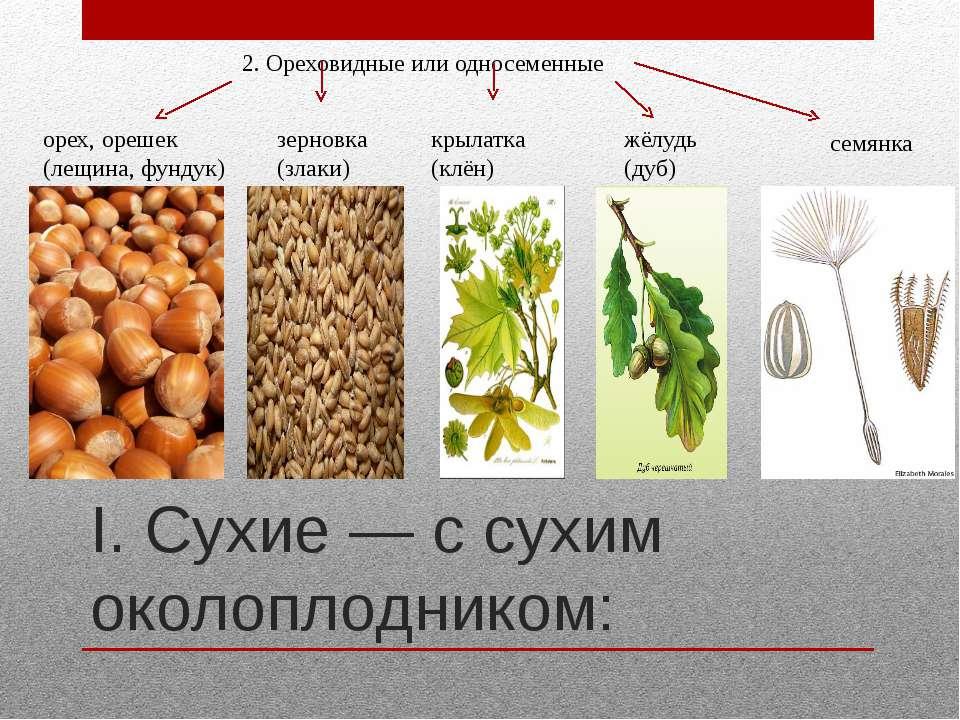 I. Сухие — с сухим околоплодником: 2. Ореховидные или односеменные орех, ореш...