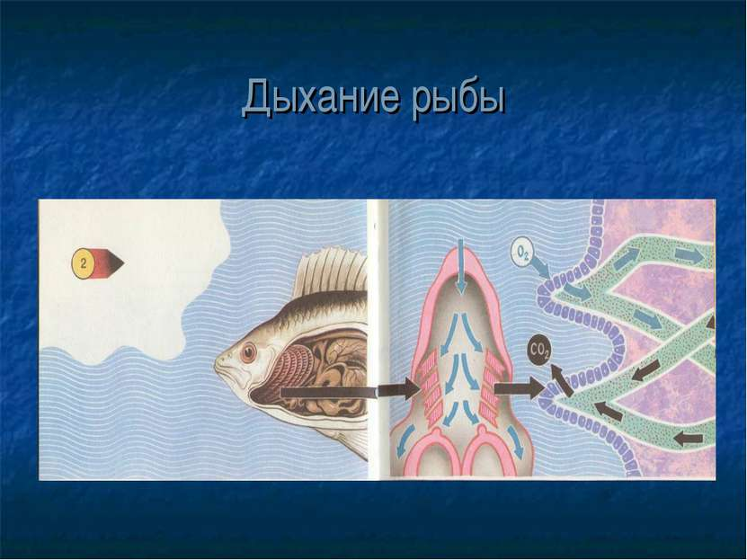 Дыхание рыбы