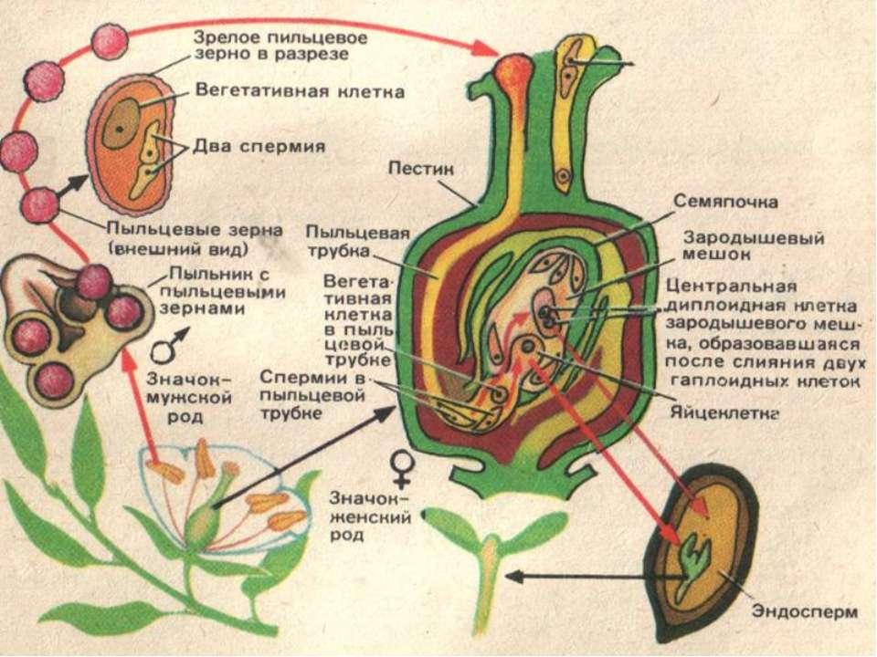 Сразу же после оплодотворения яйцеклетка начинает делиться. В результате мног...