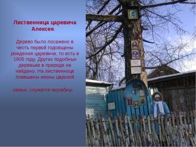 Лиственница царевича Алексея. Дерево было посажено в честь первой годовщины р...