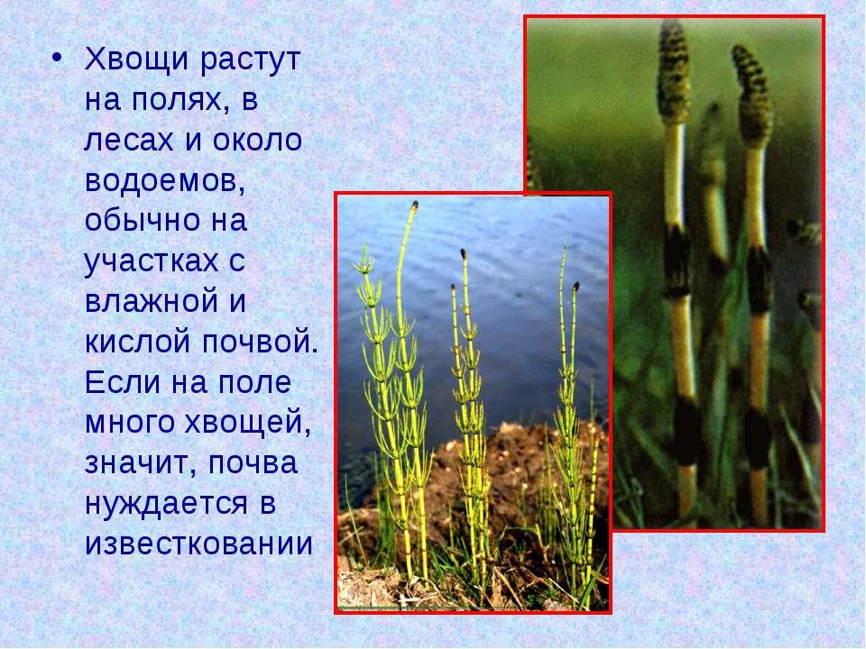 Хвощи растут на полях, в лесах и около водоемов, обычно на участках с влажной...