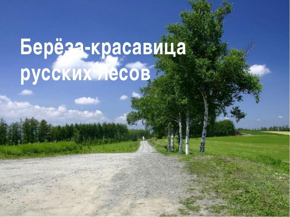 Берёза-красавица русских лесов