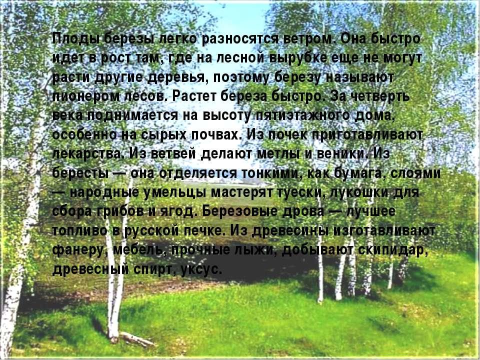 Плоды березы легко разносятся ветром. Она быстро идет в рост там, где на лесн...