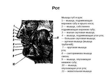 Рот Мышцы губ и щек: 1— мышца, поднимающая верхнюю губу и крыло носа; 2 — мыш...